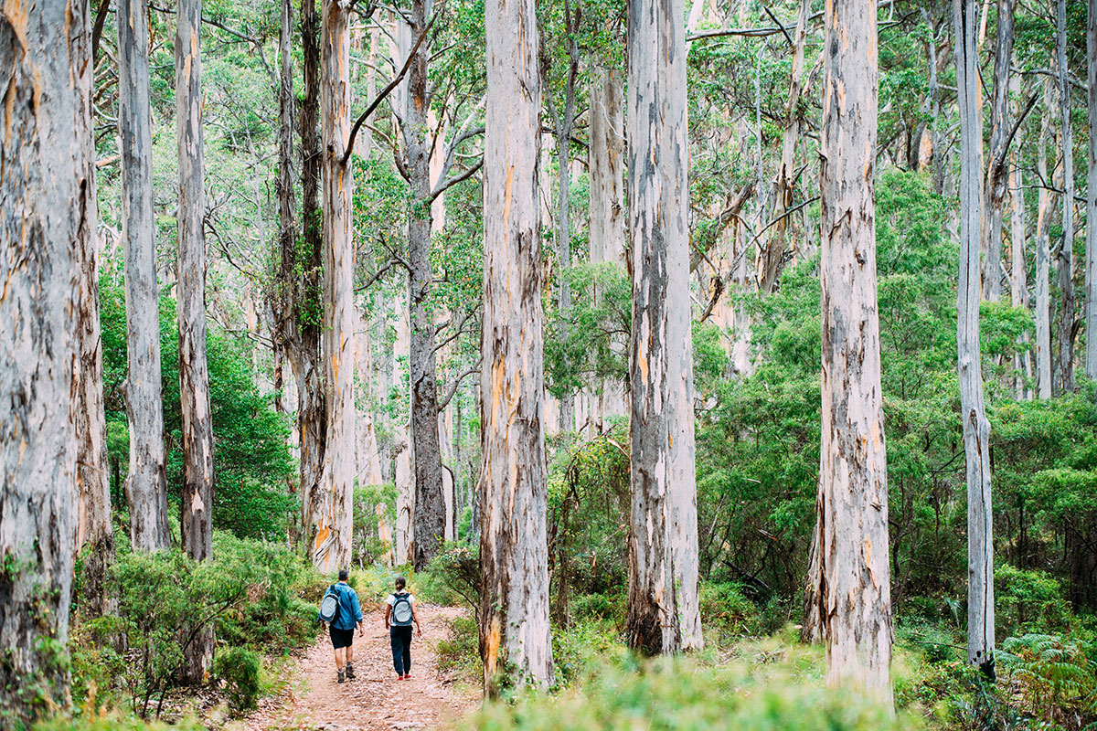 Walk through Boranup Forest on the Margaret River Cape to Cape Walk in Western Australia.
