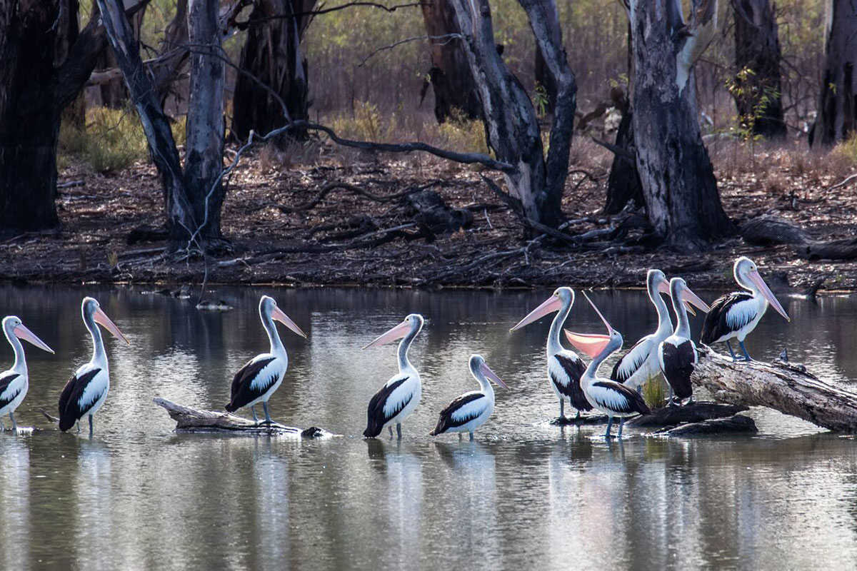 Discover Horseshoe Lagoon with Great Walks of Australia on the Murray River Walk in South Australia.