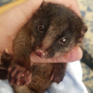 possum great walks of australia